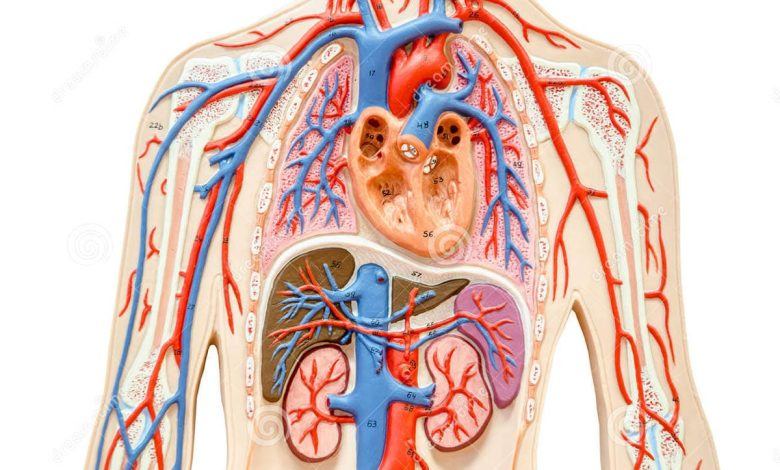 how-does-a-urea-affect-the-functioning-of-some-vital-organs?